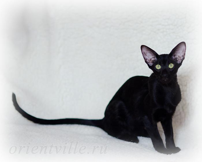 Кошки и котята ориентальной породы. На сервисе объявлений olx. Ua украина легко и быстро можно купить котенка породы ориентальная. Заведи друга прямо сейчас!